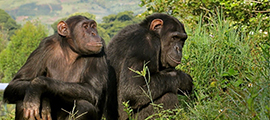 5-days-chimp-safari-in-congo