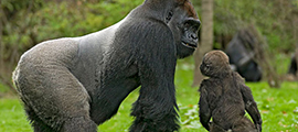 2-days-lowland-gorilla