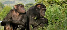 5-days-chimp-safari-in-congo