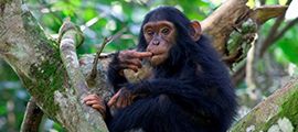 6-days-chimp-safari-uganda