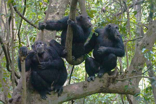 5 Days Congo Low land Gorilla Trekking Safari