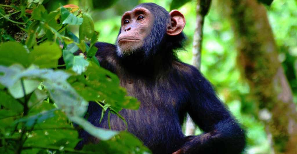 7 days Uganda primate classic Safari
