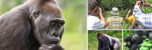 3 days lowland Congo gorilla safari to Kahuzi Biega National Park