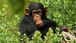 10 Days Uganda Rwanda Congo Primate Safari