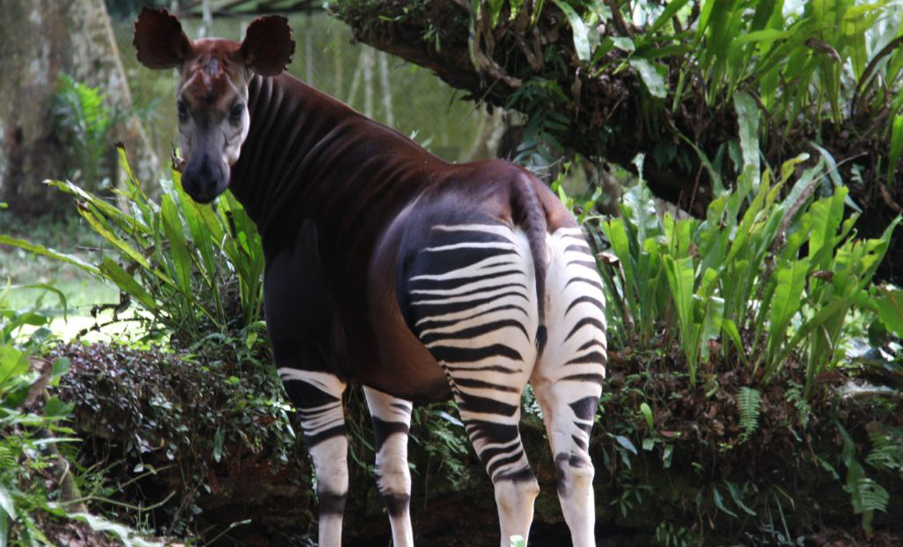 Okapi in Congo