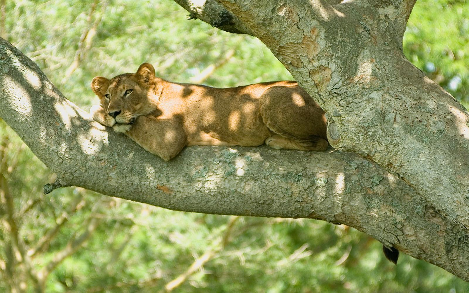 Tree climbing lions in Ishasha Uganda