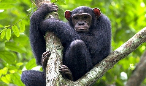 12 Days Gorilla Trekking Chimpanzee & Wildlife Safari