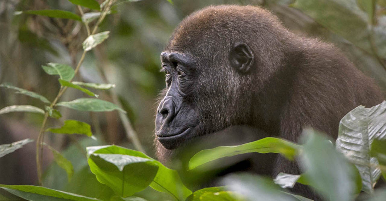 Low land gorilla in Kahuzi beiga National Park Congo