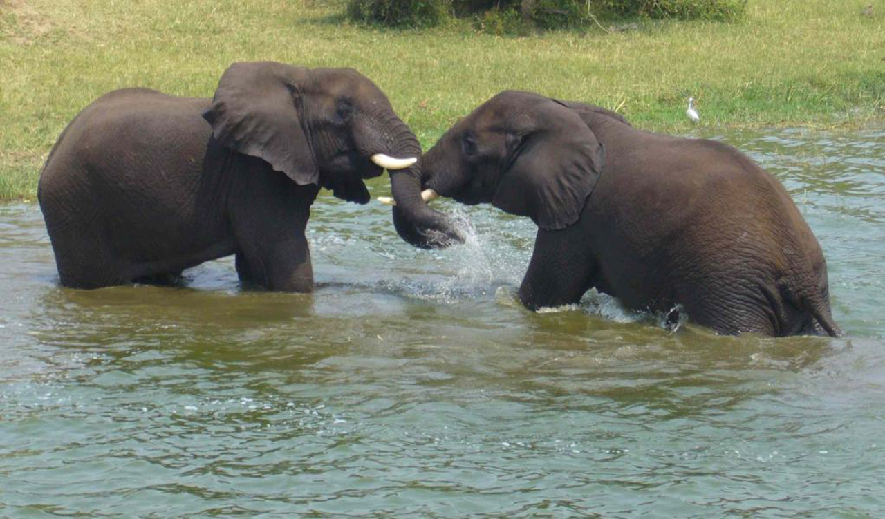 Elephants at Murchison falls national park Uganda