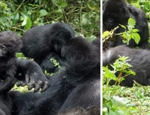 2 days gorilla trekking safari to Virunga National Park Congo