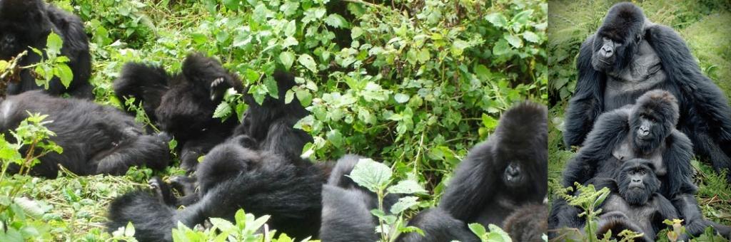 gorilla-families-in-mgahinga