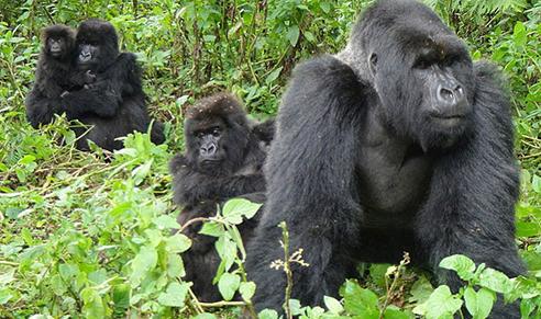 gorillasin-uganda