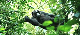 8 Days Congo Safari Tour To Wild Bonobos