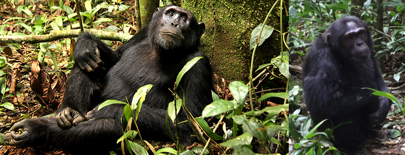 kibale-chimpanzees-safari-in-uganda
