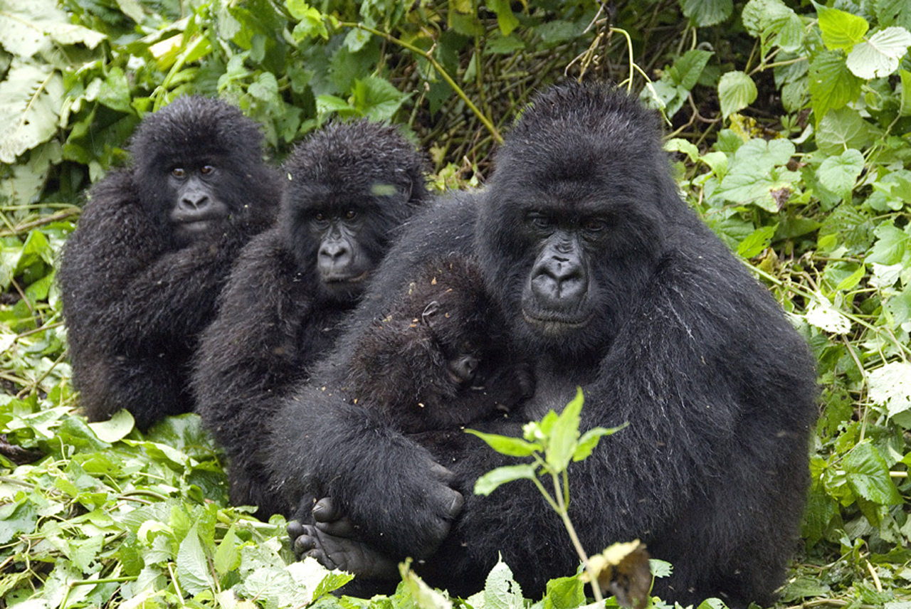 Mountain Gorillas in Virunga national park Congo