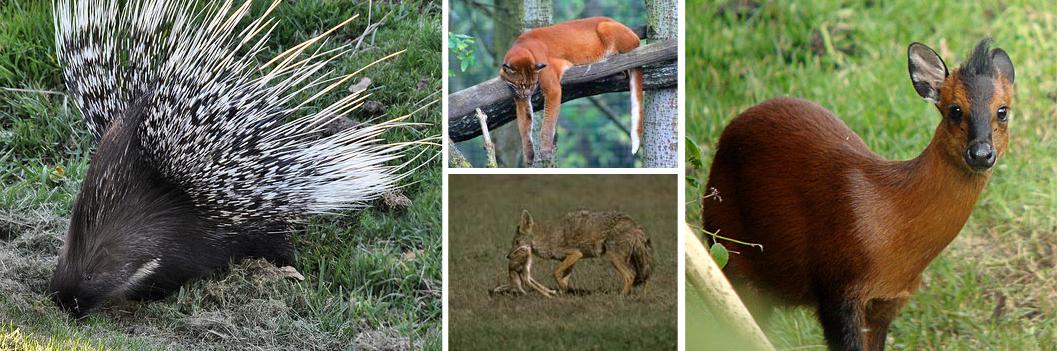 other-primates-mgahinga