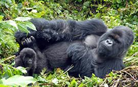 Sabinyo volcano and thick forest, habitat of the endangered Mountain gorilla Virunga National Park, Democratic Republic of Congo