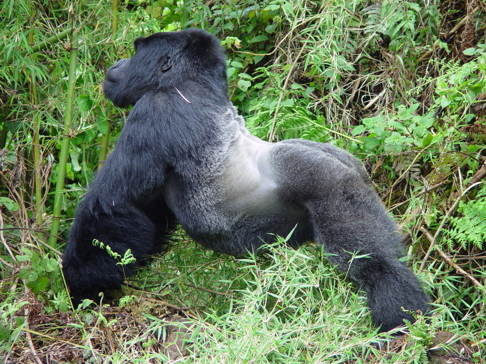 Silver back mountain gorilla in Bwindi NP