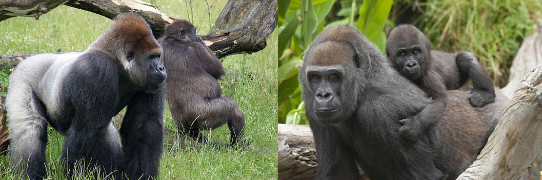 lowland-gorilla-safaris-in-congo