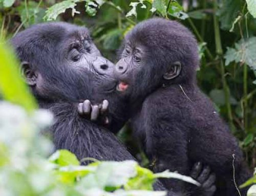 Enjoy Baby Talk Gestures During Gorilla Safari Tours Congo – Congo Safari News