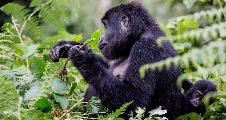 Virunga National Park Temporarily Closes Mountain Gorilla Safaris
