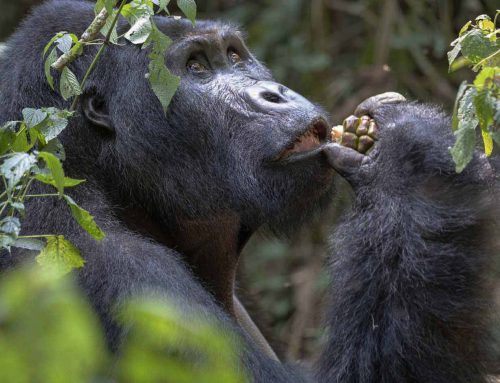 Best Time for Trekking Gorillas in Rwanda