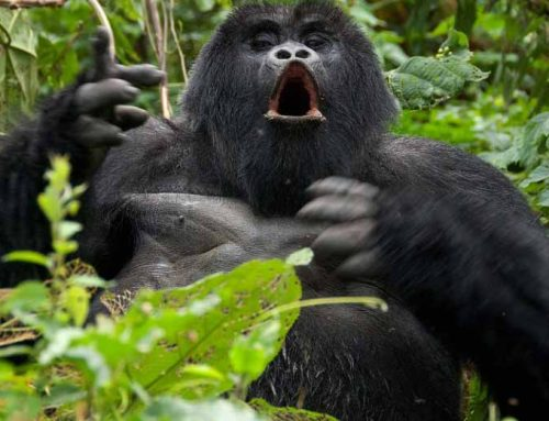Habituated Mountain Gorilla Groups in Rwanda