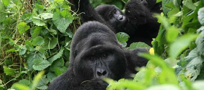 Habituated Mountain Gorilla Groups