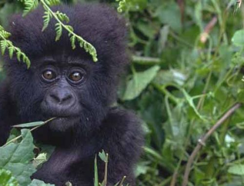 2 Days Bwindi Gorilla Tour with epic birding Via Kigali.