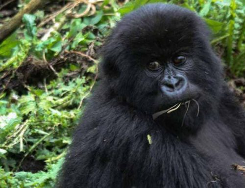 Enjoy Lowland And Mountain Gorilla Trekking In One Destination On A Single Africa Safari