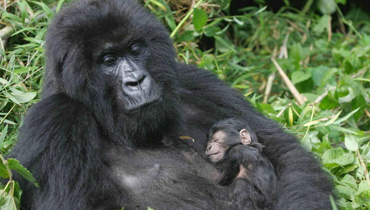 Budget Congo Gorilla Trekking Safari Tours