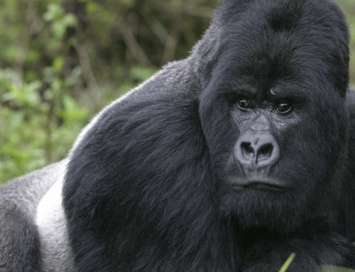 Congo Gorilla Safari Trip To Virunga National Park – Congo Safari News