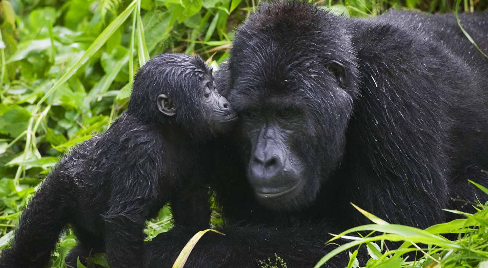 Mid-Range Congo Gorilla Trekking Tours