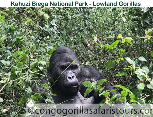 Difference between mountain and lowland gorillas