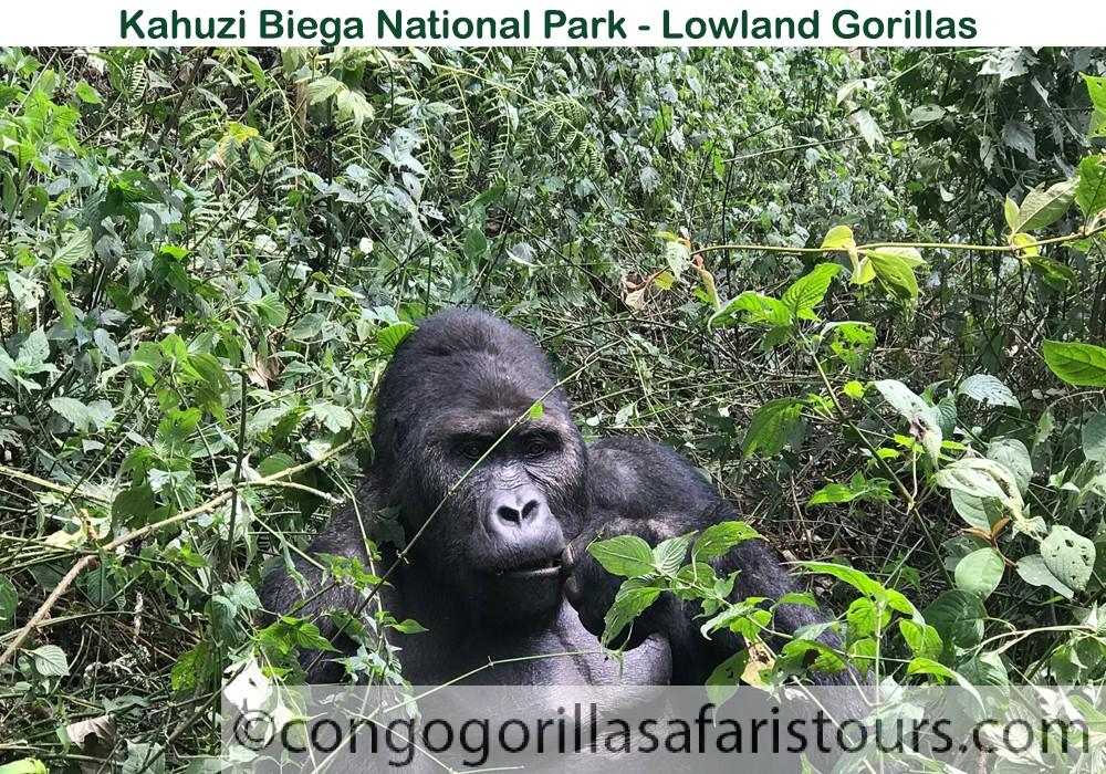 Lowland gorilla in Congo