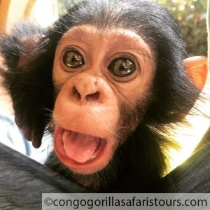 Lwiro Chimpanzee Sanctuary Congo-Congo safari news