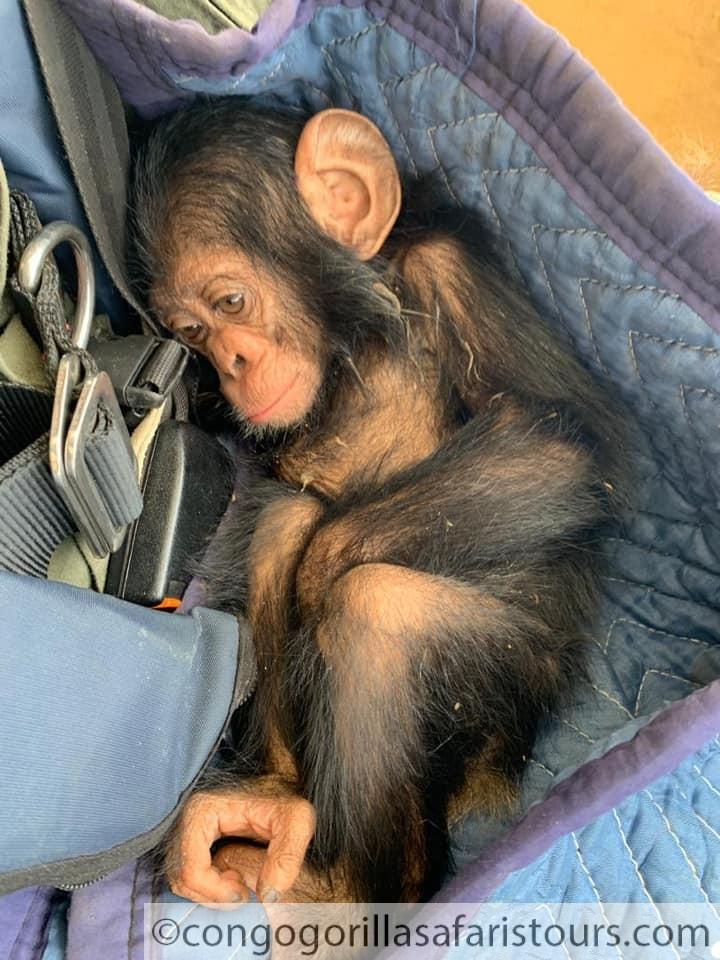 Lwiro Chimpanzee Sanctuary Congo-Congo safari news