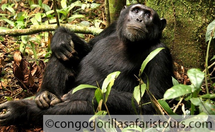 Chimpanzee Habituation in Virunga-Congo safari news