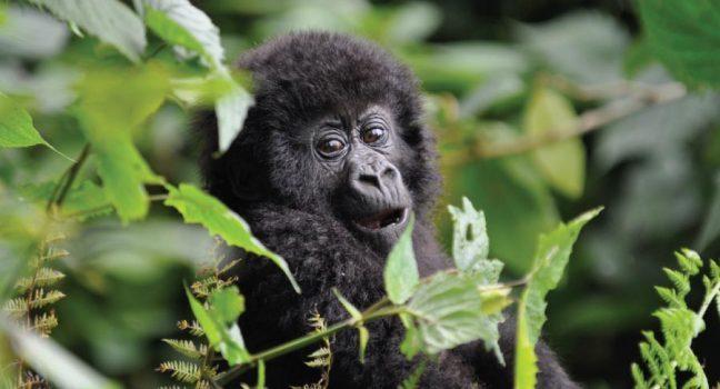 12 Days Bwindi Gorilla Trekking, Queen & Murchison Falls & Ssese Island safari