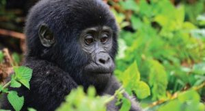 13 Days Uganda Gorilla Trek Tour and Wildlife Safari