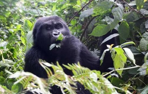 18 Days Bwindi Gorilla Trek and Mt. Rwenzori Safari