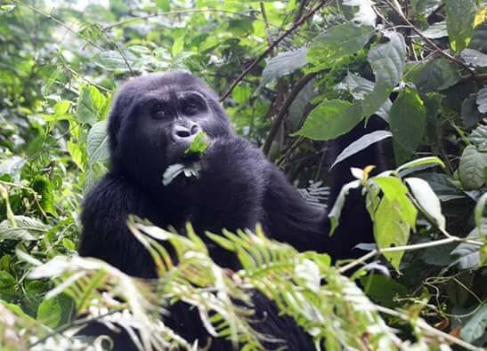 18 Days Bwindi Gorilla Trek and Mt. Rwenzori Safari
