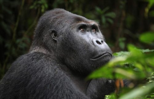 2 Days Congo Gorilla Safari to Virunga National Park