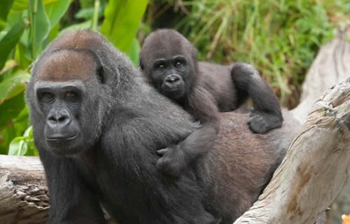 2 Days Congo Lowland Gorilla Trekking Safari to Kahuzi Biega National Park