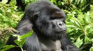 3 Days Congo Mountain Gorilla Trekking Safari in Virunga National Park