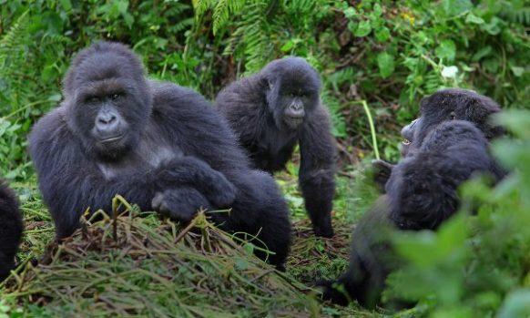 11 Days Wildlife Safari Rwanda Gorilla Trekking Safaris Tour