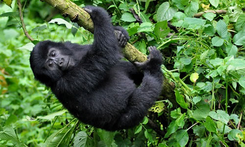 12 Days Primate & Wildlife Adventure Safari in Rwanda & Congo