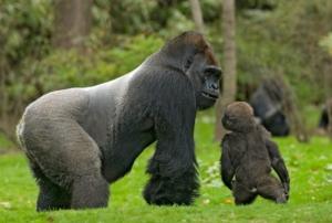 3 Days Lowland Gorilla Trekking in Congo