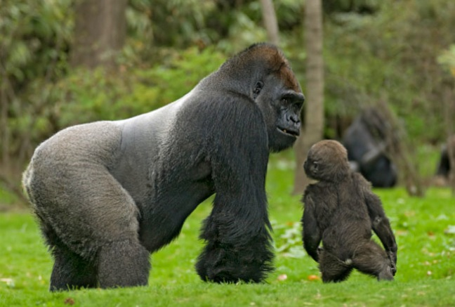 Long Congo Gorilla Trekking Safaris Tours