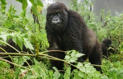 4 Days Gorilla Trekking Safari & Mount Nyiragongo Volcano Hiking Safari Trip in Congo